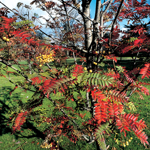 Sorbus x &#8216;Joseph Rock&#8217;